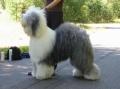 Bild på Old english sheepdog