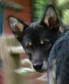 Bild på Lapsk vallhund