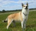 Bild på Norsk lundehund