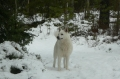 Bild på Svensk vit älghund