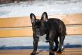 Bild på Fransk bulldogg