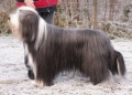 Bearded collie_3