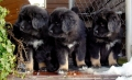 Bild på Tibetansk mastiff
