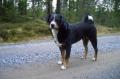 Bild på Appenzeller sennenhund