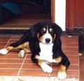 Bild på Entlebucher sennenhund