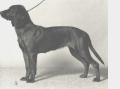 Bild på Bayersk viltspårhund