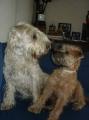 Bild på Irish softcoated wheaten terrier