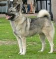 Bild på Norsk älghund,grå