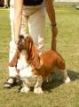 Bild på Basset hound