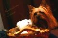 Bild på Silky terrier