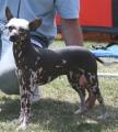 Bild på Mexikansk nakenhund