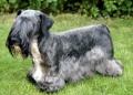 Bild på Cesky terrier