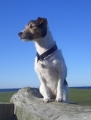 Jack russell terrier_2