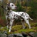Bild på Dalmatiner