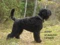 Bild på Svart terrier