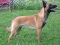 Bild på Belgisk vallhund