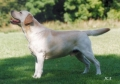 Bild på Labrador retriever
